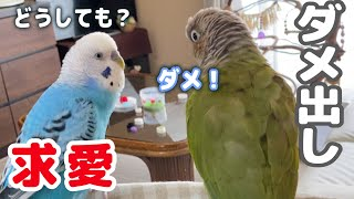 Parakeet Says No to Budgie Courtship