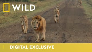 World Lion Day   August 10th - Official Trailer   National Geographic Wild UK