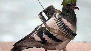 बॉर्डर पर BSF ने फिर पकड़ा पाकिस्तान से आया जासूस कबूतर
