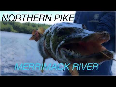 GIANT MERRIMACK RIVER PIKE