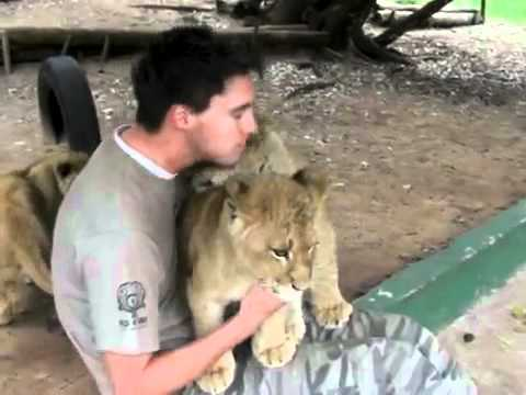 worker at lion park gets hugs from sweet lion cubs 1
