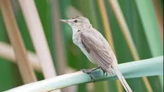 Suara burung kerak basi Alis putih di alam liar Cocok buat pikat dan masteran burung Harian
