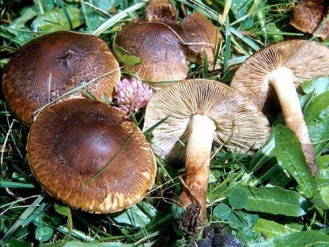 Рядовки коричневые. Рядовки серые. Съедобные грибы. Как распознать. Грибы в лесу.