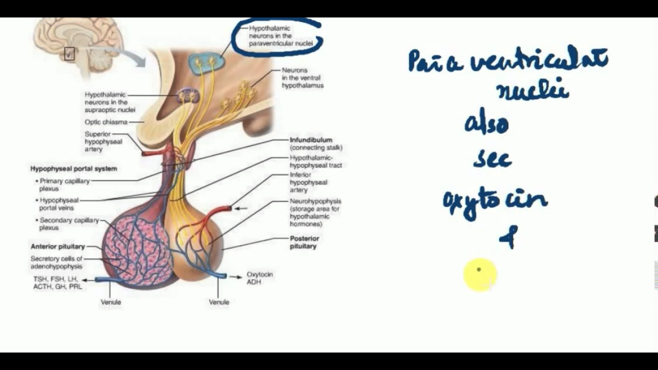 PITUITARY GLAND Part 1 ANATOMY , PHYSIOLOGY , MEDICINE LECTURES ...