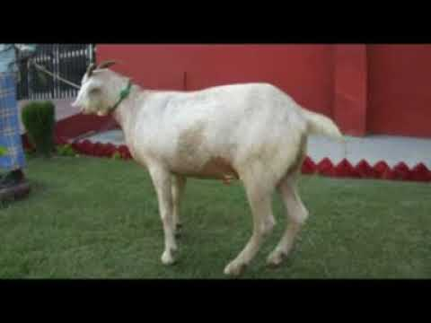Management of urolithiasis in goats youtube management of urolithiasis in goats ccuart