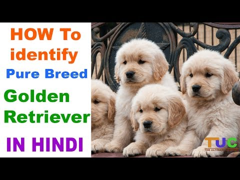 How to Check Pure Golden Retriever Breed In Hindi | Know Your Breed In hindi | The Ultimate Channel