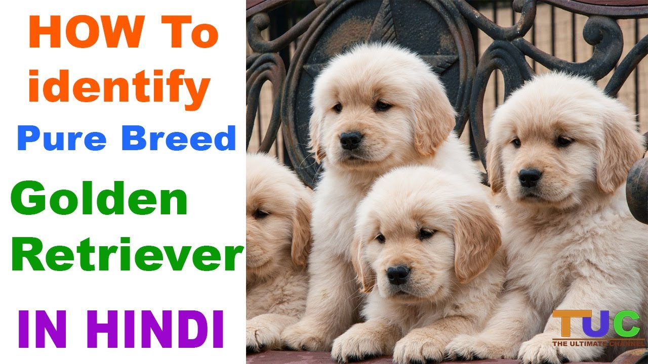 How To Check Pure Golden Retriever Breed In Hindi Know Your Breed