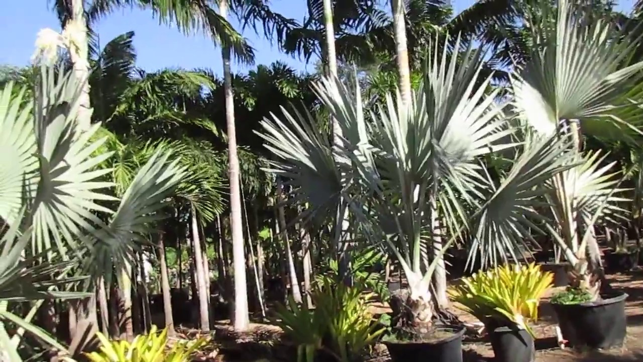 Palm Tree Tropical Plant Nursery On Maui