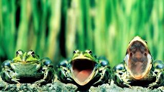 Звуки природы кваканье лягушек на пруду Лягушки квакают Nature sounds of frogs croaking in the pond