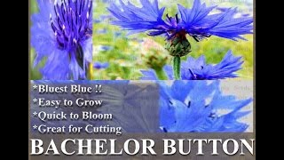 Dwarf Blue Bachelor Button Seed - Centaurea Cyanus Flower Seeds On  Www.myseeds.co