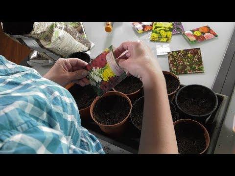 Rozsady kwiatów jednorocznych - aksamitki, cynie, złocienie, astry ...
