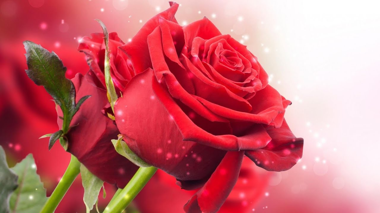 Live Animated Wallpapers For Windows 7 A Amazing Red Rose Wallpapers Youtube