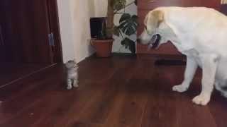 Лабрадор и котенок. Знакомство.