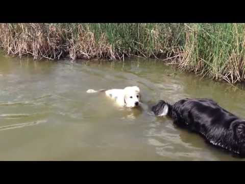 Great Pyrenees puppy loves swimming