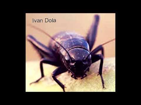 Ivan Dola - Cricket ( original mix )