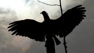 Giant Florida Vultures dry out after extreme rainfall slow motion giant bird