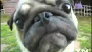 Ydl- Pug Poker Face