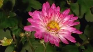 Обалденные распускающиеся цветы. Цветочный релакс(Красивейшие цветы в своем расцвете. Поражающая воображение красота. Распускающиеся цветы: розы, пионы,..., 2013-03-29T04:01:18.000Z)