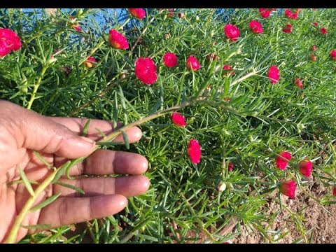 CHRISTMAS OFFER..  Moss Rose 40 CUTTINGS 300RS ONLY NO SHIPPING CHARGE  CONTACT: WHATSAPP:8903480511
