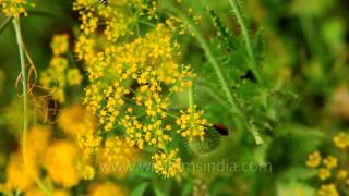 Dill flowers in bloom : Nehru Garden, Delhi