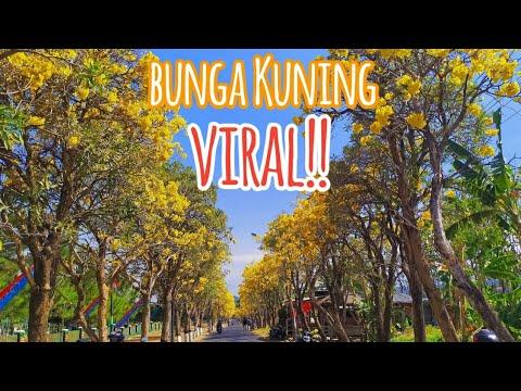lagi-viral!!-bunga-sakura-nya-kota-batu-(bunga-tabebuia-aurea)-bunga-kuning