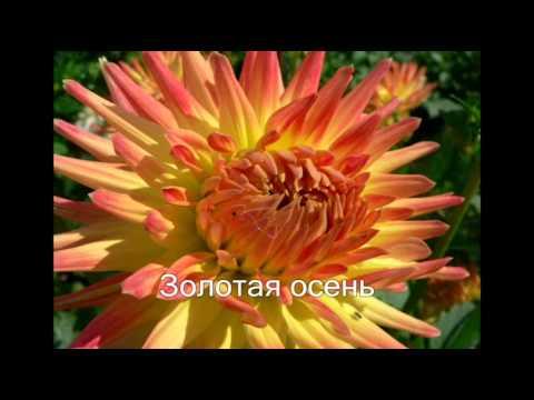 Георгины - удивительный цветок осени