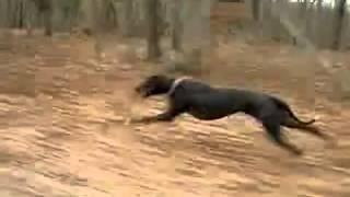 Быстрая собака