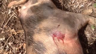 Pig Hunt 2