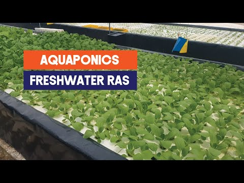 Urban Tilapia farm with Aquaponics in Malaysia | Aquaculture Technology