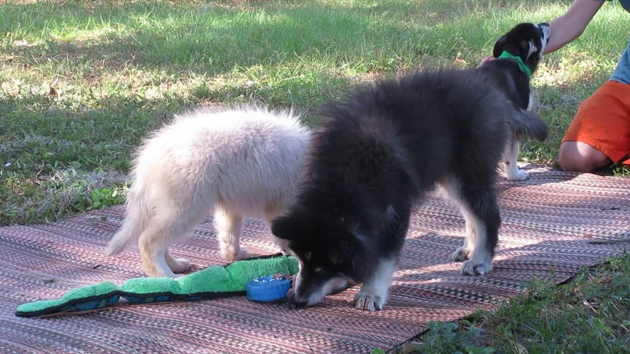 Wolfdog puppies for sale in Florida   www wolfdogpuppylove com