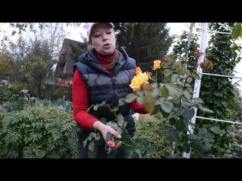 Как обрезать плетистую розу первогодку на зиму и пригибать