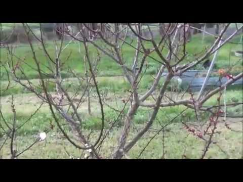 How to prune Apricot tree