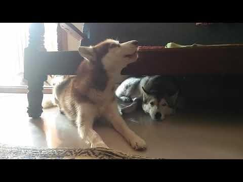 Siberian husky howl I Love you in Bangalore India