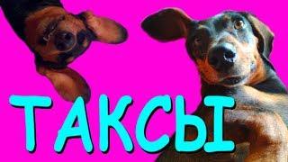 САМЫЕ увлекательные факты О ТАКСАХ | Хотите купить собаку ребенку? Вы полюбите эту породу