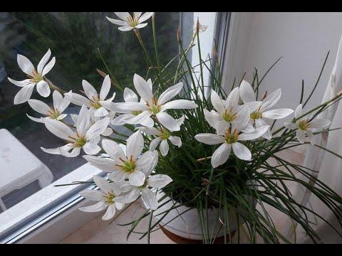 Зефирантес белый - уход в домашних условиях. Советы по уходу за цветущей выскочкой зефирантес.