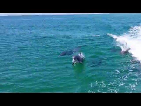 Dolphins playing in wake of Portofino 1 boat (Pensacola Beach FL)