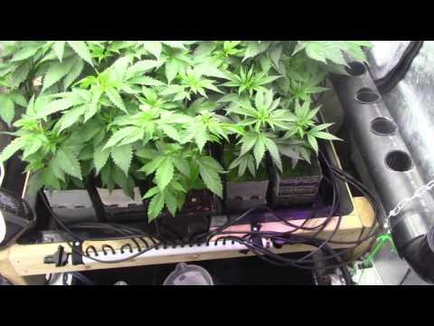 Cannabis Deficiency / Magnesium Deficiency