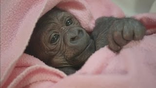 WATCH: Adorable baby gorilla recovers in human ICU after two emergency operations at San Diego Zoo