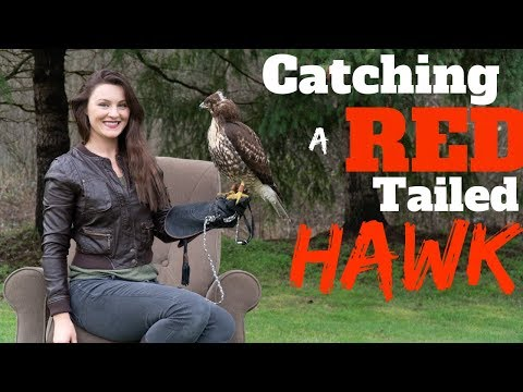 Catching A Red Tailed Hawk For Falconry!