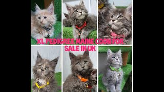 Maine coon kittens for sale in uk/fluffy XL kittens for sale with subtitle 4K