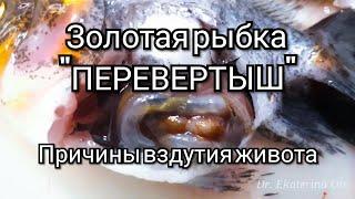 Болезни рыб-золотая рыбка перевертыш/Fish disease - Gold fish disease