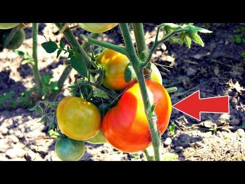 Супер урожайные раннеспелые сорта томатов без пасынков для открытого грунта! | раннеспелые | урожайные | открытого | пасынков | отличные | томатов | грунта | супер | сорта | для