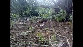 Ayam Hutan Pikat Betina 28