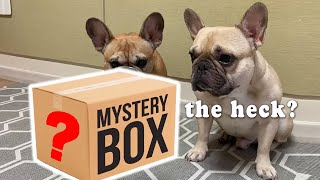 My Dogs Get A Mystery Package | French Bulldog Funny Reaction
