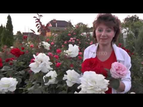 Роза Schneewalzer (Шнеевальцер)