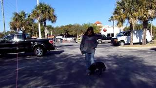 Dog Training Big Pit Bull Rocky Off Leash Dogtra E Collar Pager
