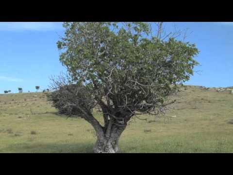 Charles Spurgeon - La Higuera Marchita