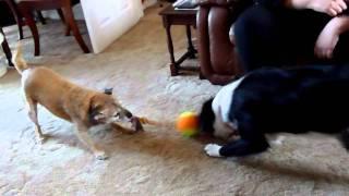12 Yo Border Terrier Vs 6 Month Old Springer Spaniel Cross Collie