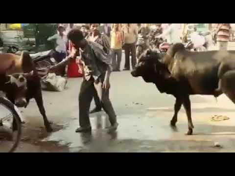 Doc Reno - Man gets in between two angry bulls