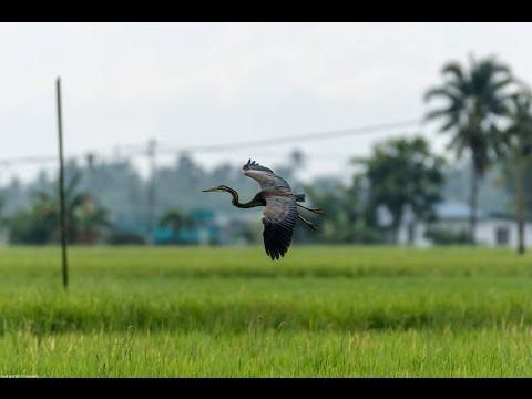 Purple Heron Spotted Around Kamunting Lake Taiping Perak